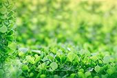 pic of clover  - Meadow clover in early spring - decoration with green clover