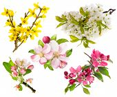 stock photo of cherry  - Spring flowers isolated on white background - JPG