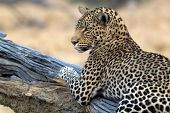 picture of leopard  - A leopard stars towards the camera in Botswana