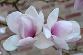foto of magnolia  - Nice couple of magnolia flowers in Seattle - JPG