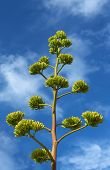 picture of monocots  - Agave  - JPG