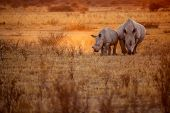 foto of rhino  - two rhino - JPG