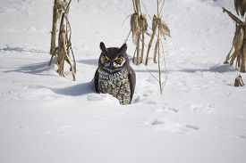picture of snow owl  - Fake owl in the snow in front of old corn stalks