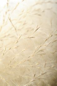 image of dry grass  - dry grass flower  - JPG