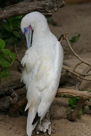 picture of boobies  - An albino blue - JPG