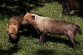 picture of rainforest animal  - Bush dog  - JPG