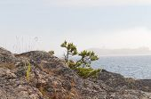 pic of backround  - Tiny pine tree growing on the rocks at the shore of the ocean - JPG
