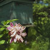 picture of bee-hive  - Slightly fading pink peonies in sun light bee hive in the shadow background outdoor square shot - JPG