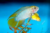 foto of freshwater fish  - Apistogramma fish in aquarium with blue background - JPG
