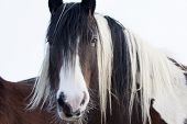 stock photo of stallion  - close up profile of a brown and white stallion - JPG