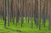 stock photo of coniferous forest  - Thick coniferous forest pine trunks summer background - JPG