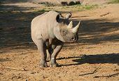 Rhinoceros In Sun In Wild