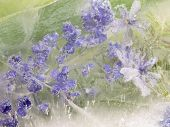 picture of fragile  - abstraction of small lavender fragile delicate wildflowers frozen in the ice on a green organic background with bubbles of air - JPG