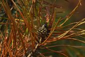 image of pine-needle  - Young pine cone with weevil among green and burnt biege and brown needles on a branch on brown and green background  - JPG