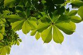 foto of chestnut horse  - Translucent and green horse chestnut leaves in back lighting on blue sky background - JPG