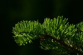 picture of pine-needle  - Pine tree branch of fir needles isolated at black background - JPG