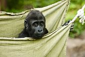 stock photo of gorilla  - Little baby gorilla sitting in a hammock - JPG