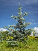 picture of blue spruce  - Young Hoopsii Blue Spruce growing in the backyard shot over blue sky - JPG