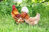 pic of roosters  - Red rooster and hen in green grass - JPG