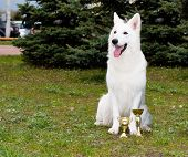image of swiss shepherd dog  - The White Shepherd seats in the park on the grass - JPG