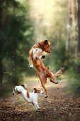 Dog Jack Russell Terrier And Dog Nova Scotia Duck Tolling Retriever Jump Over The Leaves poster