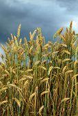 Ripening wheat field under dark rainy clouds
