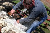 RATIBORICE, CZECH REPUBLIC - APRIL 24:  Farmer shearing sheep, The Shepherds Festival, April 24, 201