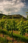 Summer vineyard of Pavlov in Moravia with ruin of Devicky castle