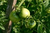 Green Tomatoes In Garden After Soft Rain
