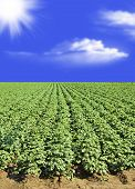 Potato Field Against Blue Sky And Clouds