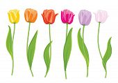Color tulips. Vector illustration