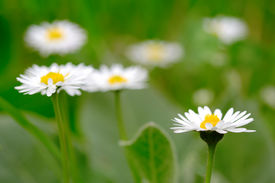 image of single flower  - Daisy flowers in the field - JPG