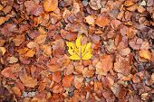 Single Yellow Autumn Leaf In The Middle Of Brown Leafs.  Brown Fall Leafs And Only One Yellow. poster