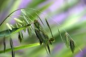 Flowering Chasmanthium Latifolium Known As Woodoats, Inland Sea Oats, Northern Sea Oats Or River Oat poster