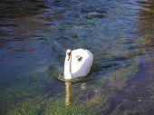 A Hampshire Swan