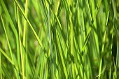 Ornamental Calamagrostis Grass, Reed Grass Juicy Green Colored As Grasses Background poster