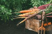 Organic Vegetables. Carrots And Beets In A Wooden Box In The Garden. poster