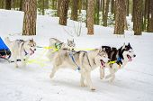 Sled Dog Siberian Husky Breed In Harness. Husky Dog Has Black And White Fur Color. Forest Background poster