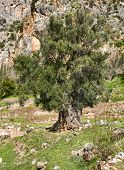 Old Green Olive Tree On The Rocks