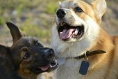 Dogs Play With Each Other. Corgi Pembroke. Merry Fuss Puppies. Aggressive Dog. Training Of Dogs.  Pu poster