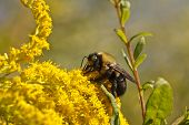 picture of ragweed  - A bumblebee working pollen on yellow wildflowers - JPG