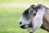 foto of anglo-nubian goat  - A close - JPG