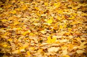 Background Group Autumn Orange Leaves. Outdoor.autumn Leaves Background.selective Focus. Fall Season poster