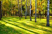 image of birchwood  - Beautiful autumn landscape with the sun and shades in a birchwood - JPG