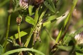 pic of hopper  - Green meadow grass hopper in amongst the grass - JPG