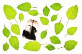 picture of citronella  - Leaves of lemon balm  - JPG
