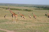 Giraffes in the Massai Mara