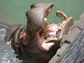 Hippopotamus Close-Up