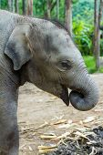 Baby elephant profile with trunk in its mouth.