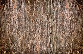 background from the bark of pine-tree